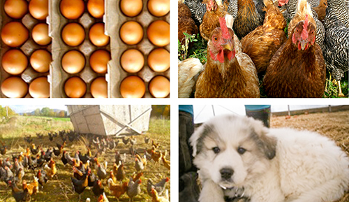 Pasture-Raised Egg Farm Shares - Groundworks Farm