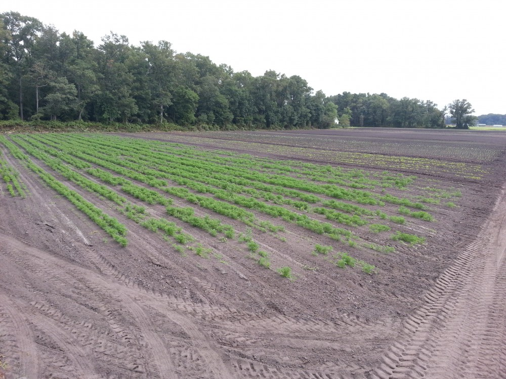 late carrots 2014